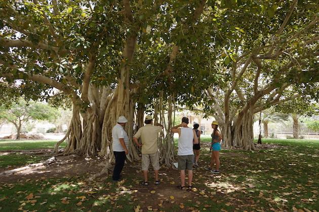 En Gedi Kibbutz features a Baobab tree and many other botanical wonders.