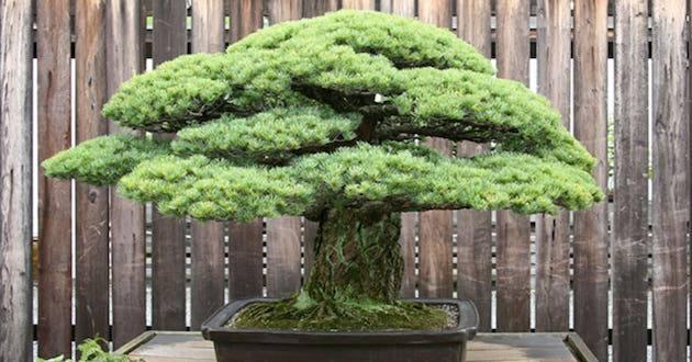 Bonsai Tree That Survived Hiroshima On Display In Washington Metro Voice News