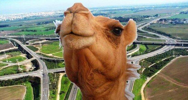israel camel